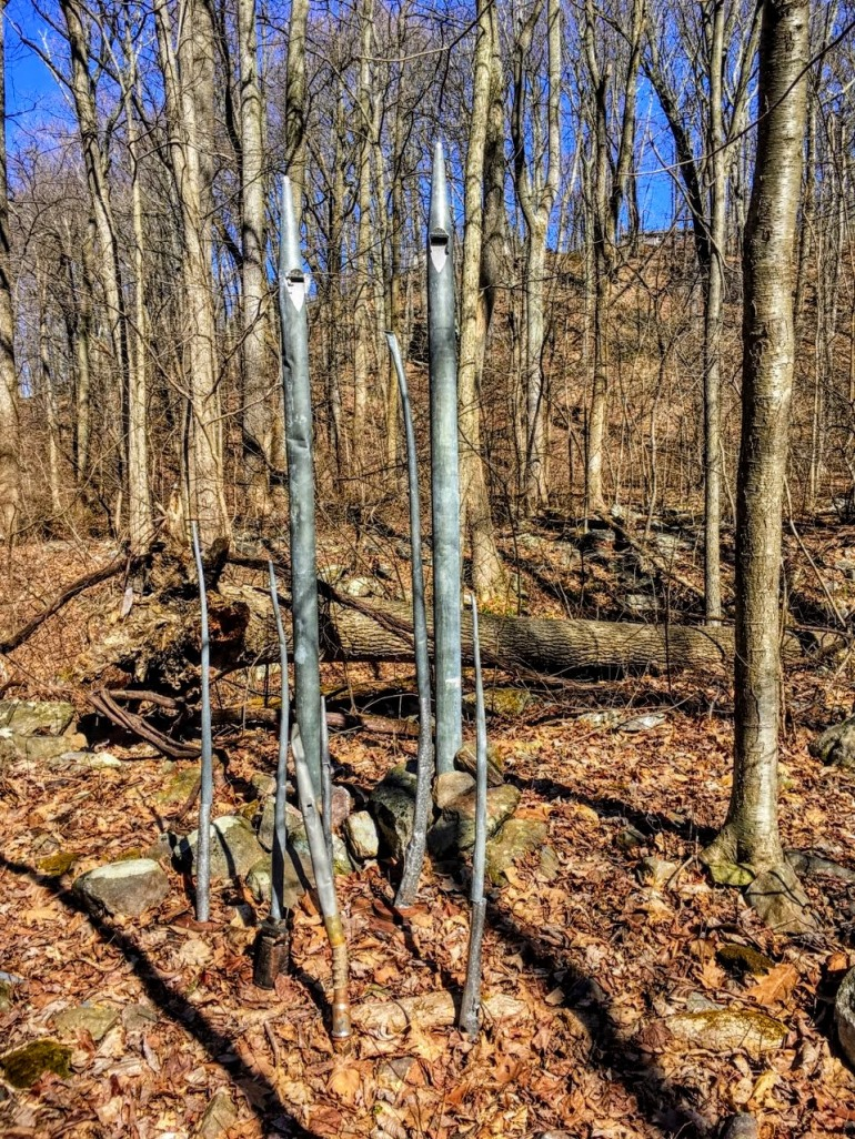 Seven organ pipes, ranging from 2 feet to 6 feet in height, emerge from the leaf litter in a winter forest.
